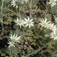 Flannel Flower