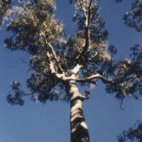 Silver Top Stringybark