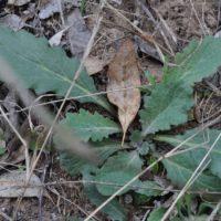 Austral bugle