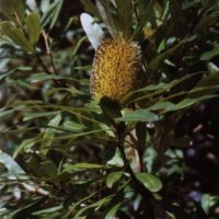 Coast banksia