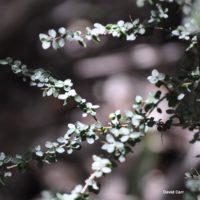 Prickly Currant Bush