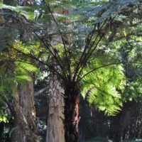 Black Tree-fern