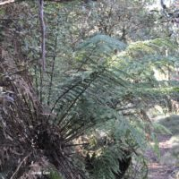 soft tree-fern