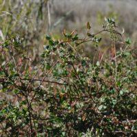 Berry Saltbush