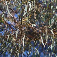 Narrow-leaved Black Peppermint