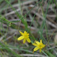 Yellow Autumn-lily