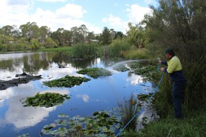 Spraying water weeds in the woodland